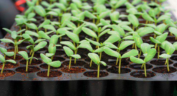 правда про підготовку насіння до посіву