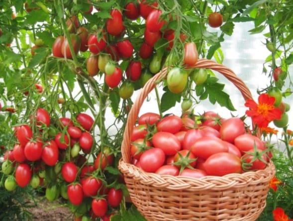 Опис сорту томатів «Чіо Чіо Сан»