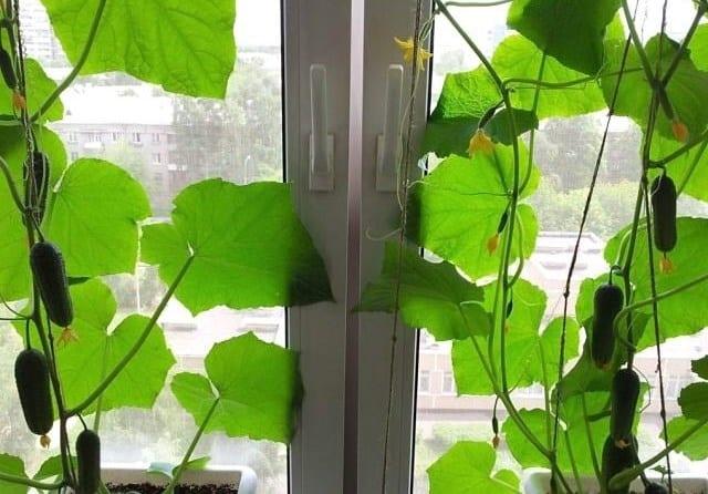 Чи можна виростити огірки на підвіконні чи балконі взимку?
