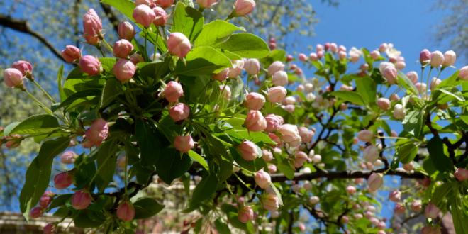 Як і чим підгодовувати яблуні навесні?