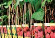 Як вибирати саджанці малини для посадки