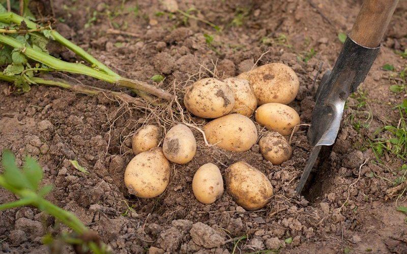 Коли пора копати картоплю і як зрозуміти, що картопля дозріла