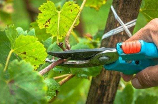 Всі секрети обрізки винограду навесні для початківців