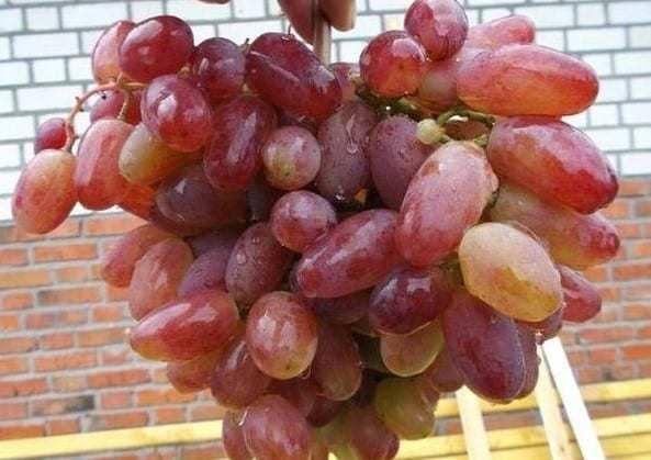 Вирощування винограду раннього сорту Юліан